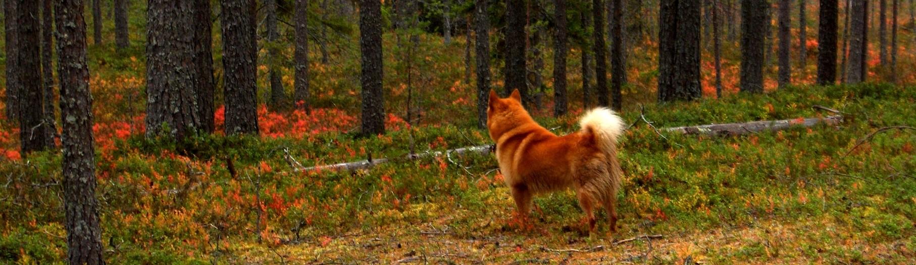 Suomen pystykorva Jalo syksyisessä metsässä ruskan keskellä.